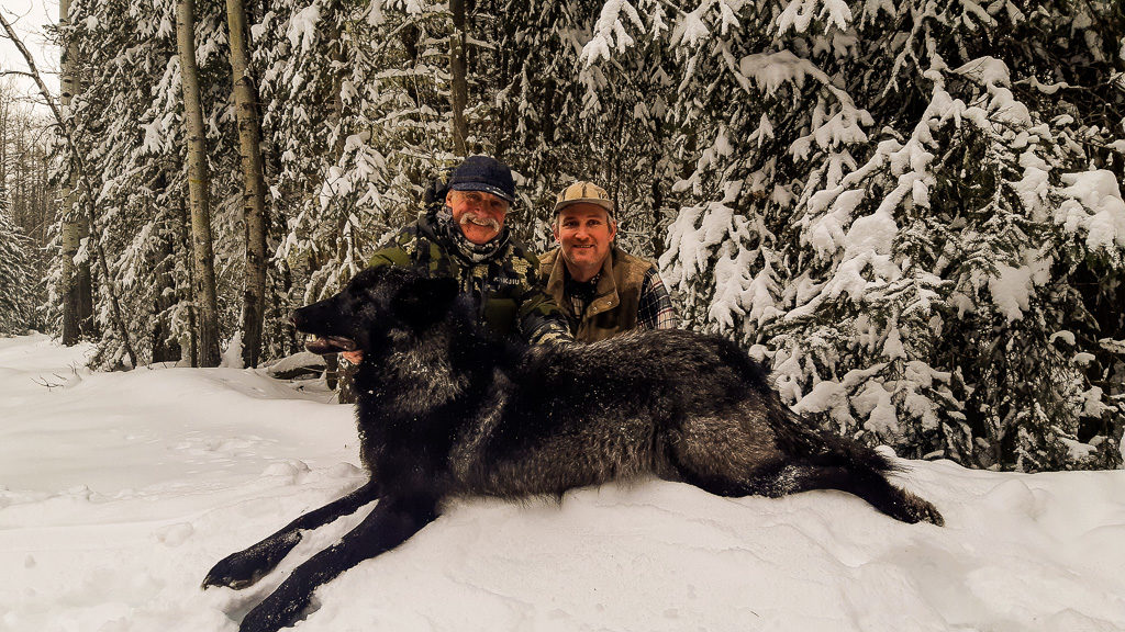 Adventures while wolf hunting with professional outfitters in Alberta, Canada