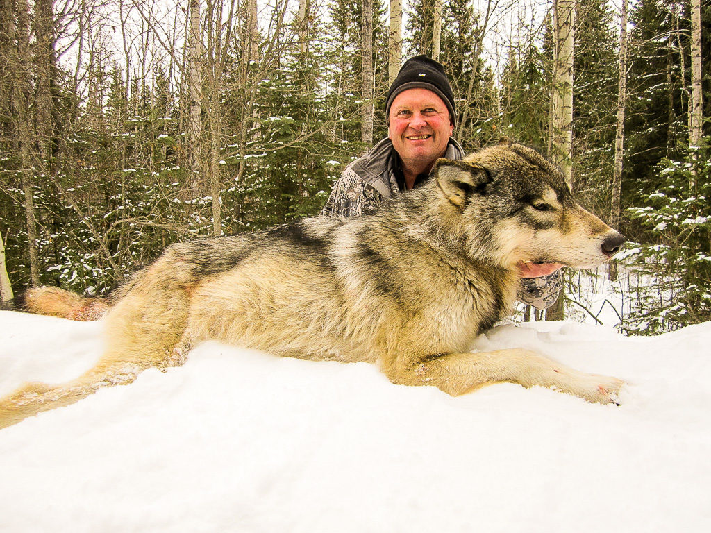 Adventures while wolf hunting in Alberta, Canada with Alpine Outfitters